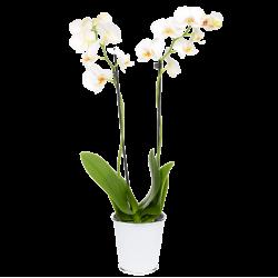 Phalenopsis Blanc 2 Branches
