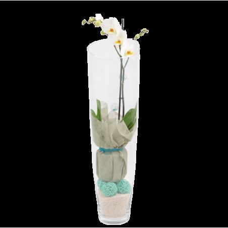 Phalenopsis Blanc Verrerie