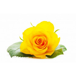 Rose Eternelle Jaune Impérial
