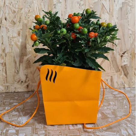 Pommier d'amour - Solanum