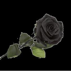 Rose Eternelle Noir Ebène