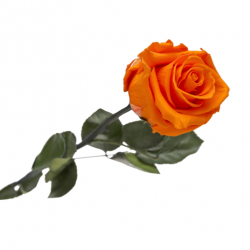 Rose Eternelle Orange...